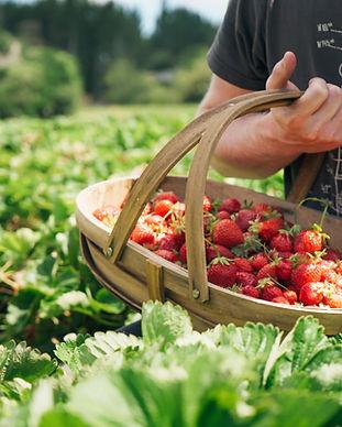Copy of Copy of Strawberries in basket-5