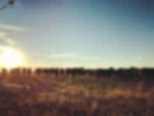 Cows at sunset blaine 112018.jpg