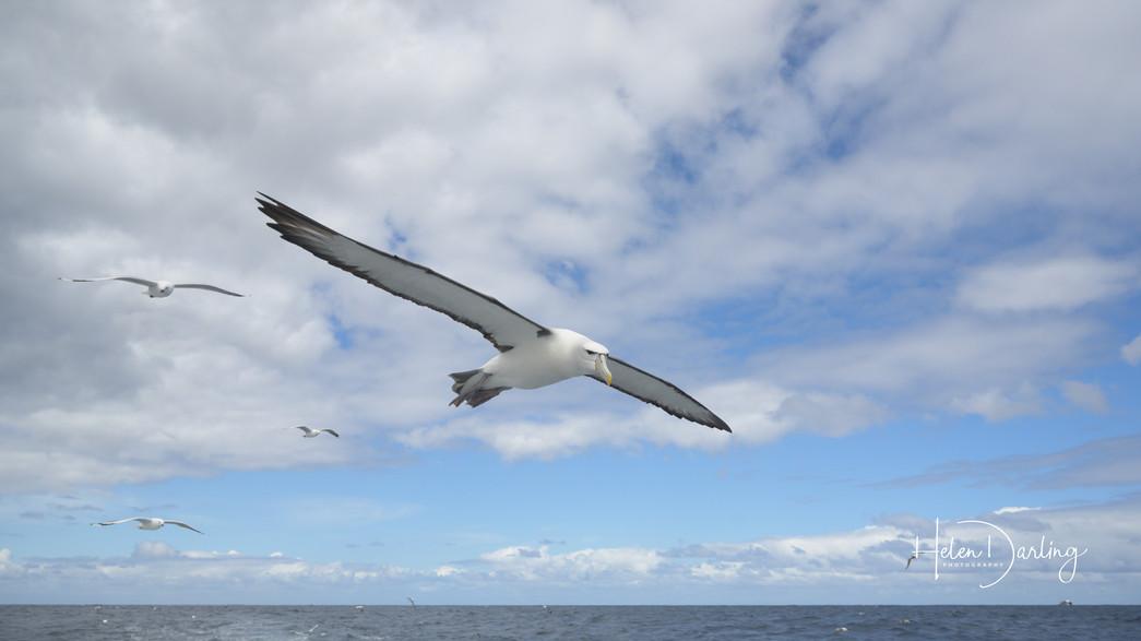 White capped mollymawk, off Rakiura / Stewart Island