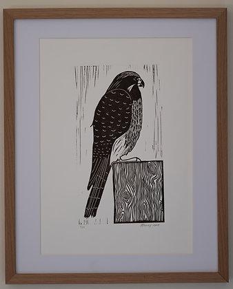 Karearea | Falcon (unframed print)
