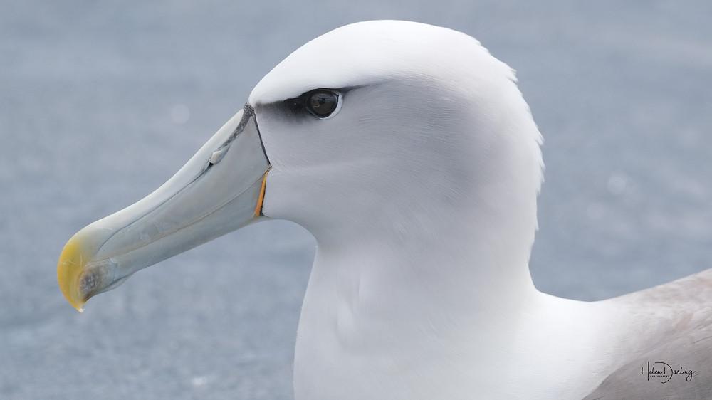 White capped mollymawk off Rakiura / Stewart Island