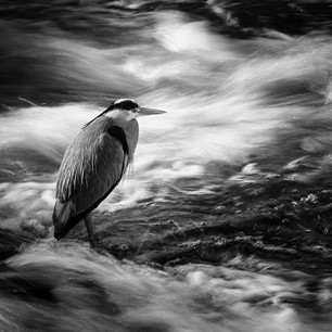 'Heron on the weir' by Colin Paul, Central Photographic Association