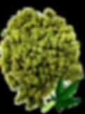Bud-Leaf_edited.png