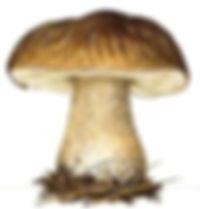 cepe_de_bordeaux_002_(dessin)_small_edit