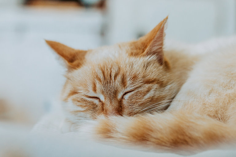 animals-animal-pet-cat-cat-sleep-orange-