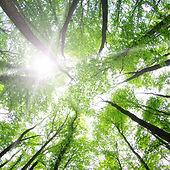 lesních stromů