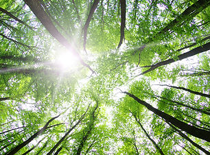 Sunshine Filtering through Forest Trees