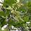 Thumbnail: BIO die lebhafte Lindenblüte (Tee) - 12 Stück