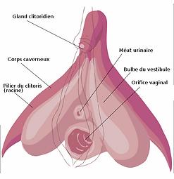 581px-Schéma_strucurel_légendé_du_clitor