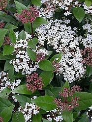 viburnum tinus.jpg