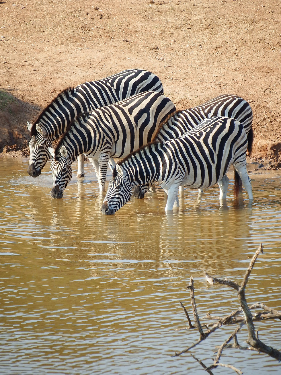 animals-drinking-mammal-nature-259547.jp