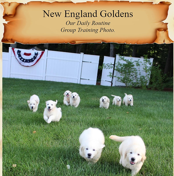New England Goldens Daily Routine.jpg