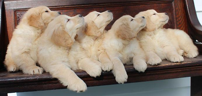 Golden_Retriever_Puppies_2.jpg