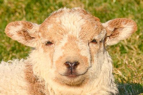 Welsh Sheep in Arthog
