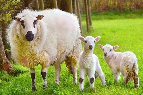 Lambing in Happy Valley, Tywyn