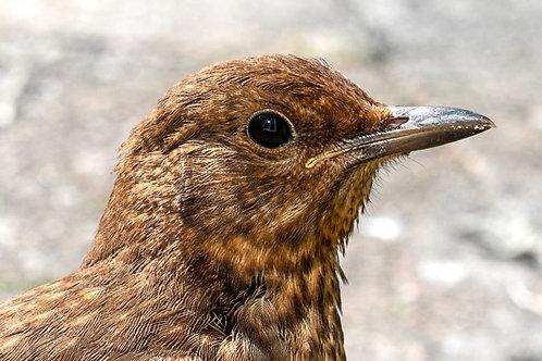 Blackbird WIX