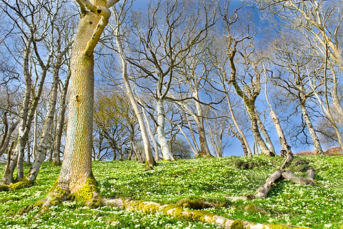 Primroses in Happy Valley, Tywyn