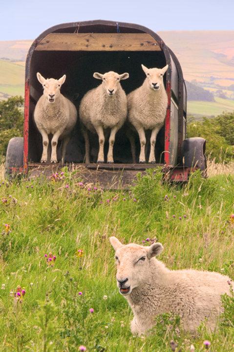 Sheep in line near Tywyn Vicarage