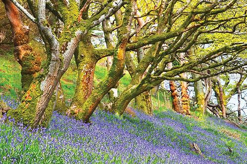 Bluebells in Happy Valley, Tywyn