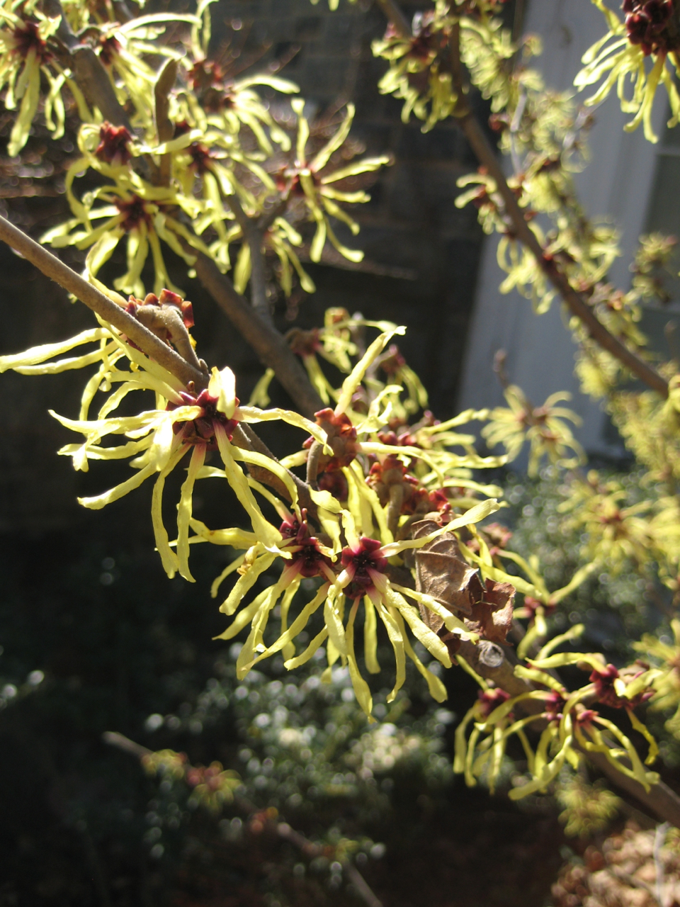 Witch hazel flowers - Bronx, NY