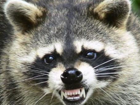 Rabid raccoon found in Somers