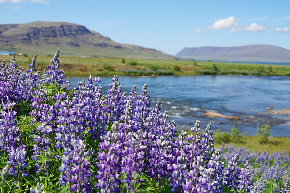 Purple lupins in a meadow with a sunlit view over gentle hills and a lake in the background. Iceland weather and climate is temperate.