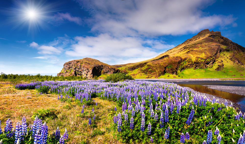 Purple flowers, green meadows and blue skies. These purple lupines grow profusely in Iceland in June