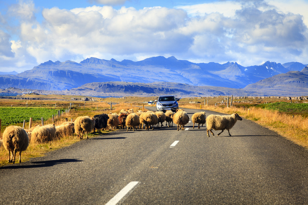 A car waiting behind a flock of sheep on a road. Fields on either side and mountains in the distance under blue skies and cloud. Car insurance in Iceland.
