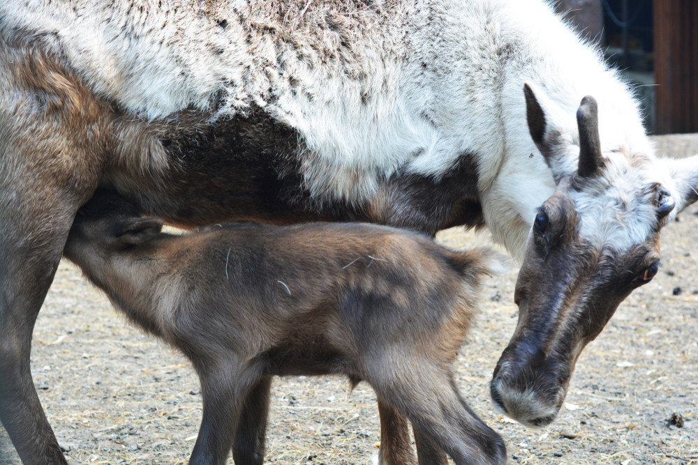 Reindeer and calf in an enclosure. Zoo entry included on Reykjavik city card.