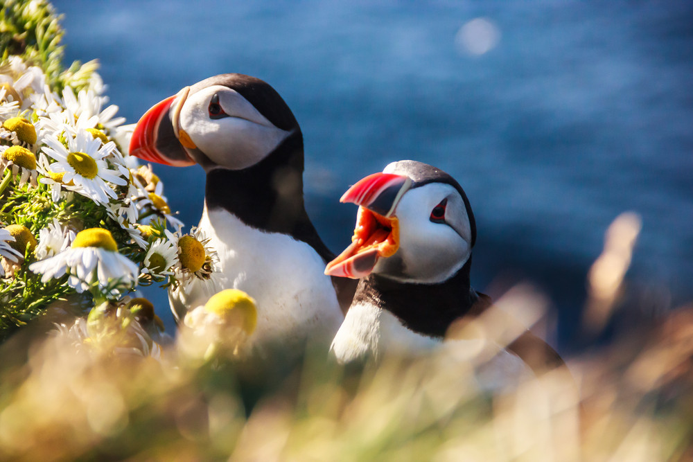 Puffins with flowers on a cliff edge. One of the sights if you are driving in the Westfjords