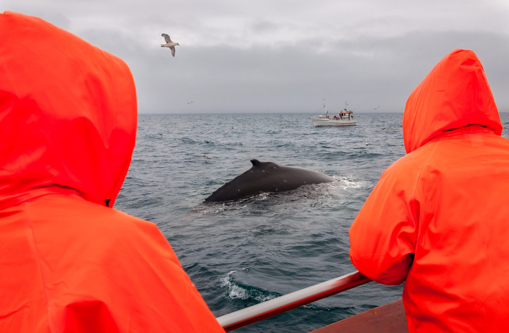 Two people in bright orange raincoats watch a whale from a boat. Reykjavik Old Harbor whale watching.