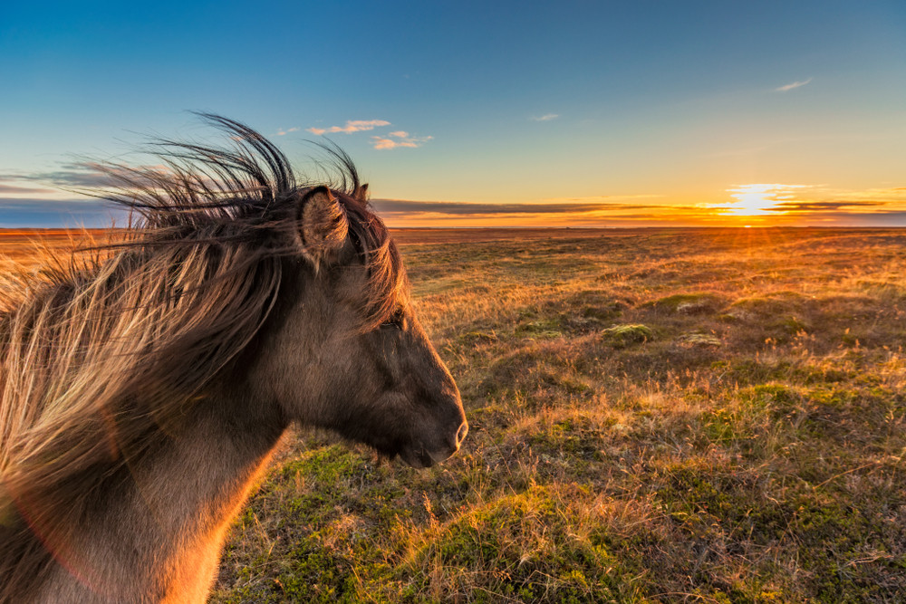 An Icelandic horse looking out over grassy landscape at sunset.  Iceland in October.