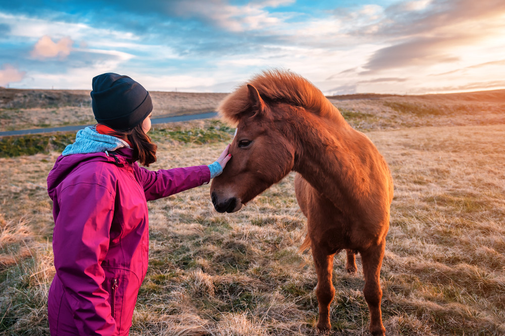 Woman reaches out to stroke the hose of a horse in the countryside. Animals in Iceland are friendly.