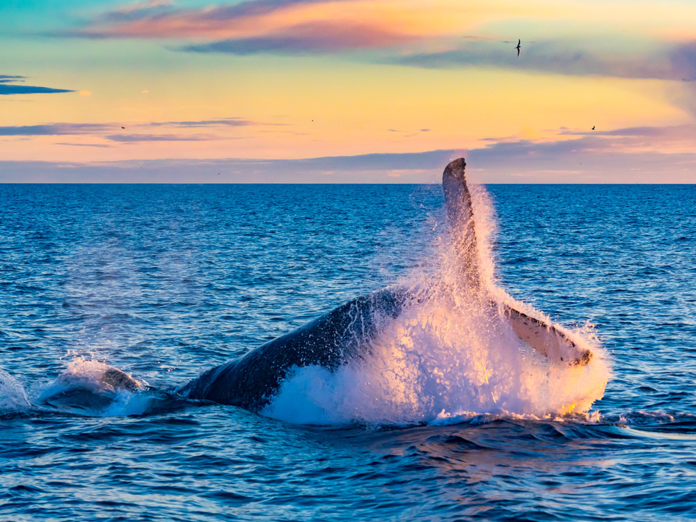 Whale breaching in rosy glow of sunset. Iceland in August.