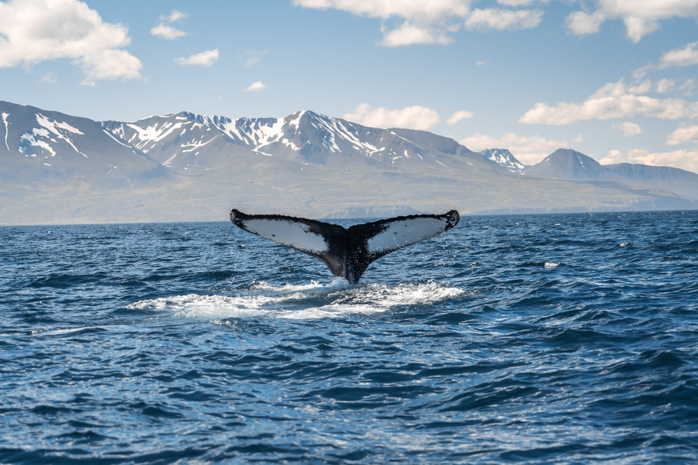 Whale tail reaching out of the ocean with snowy mountains in distance. Wildlife and animals in Iceland.
