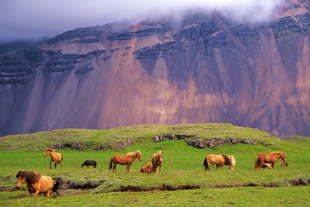 Icelandic horses in a meadow. Some of the nation's favourite animals in Iceland.