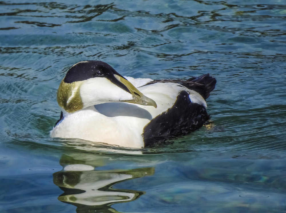 An Arctic duck on water. Animals in Iceland passing through.