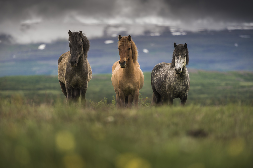 Three different coloured small horses in a out of focus landscape. Horses are some favourite animals in Iceland.