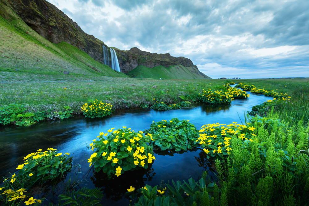 Green fields surround a clear river with yellow flowers in the banks. A cascading waterfall in the distance. Iceland in June