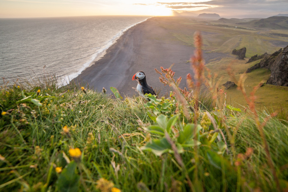Iceland photography shot of a puffin on a grass covered cliff with a black sand beach and sea.