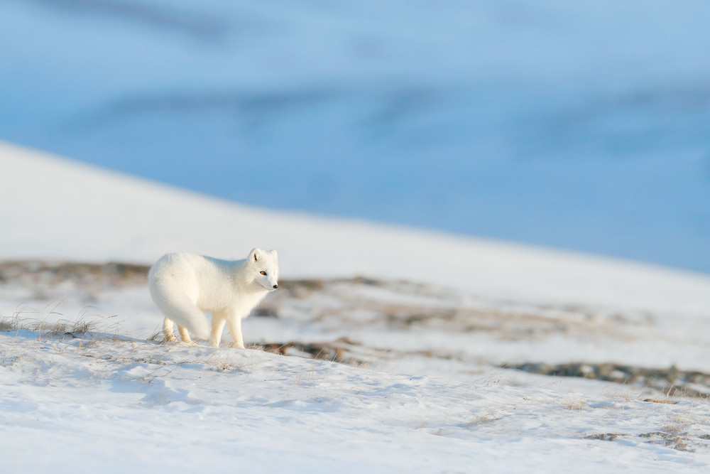 A white fluffy fox stands in a snowy landscape. The only native land wildlife in Iceland.