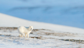 Where to see Wildlife in Iceland