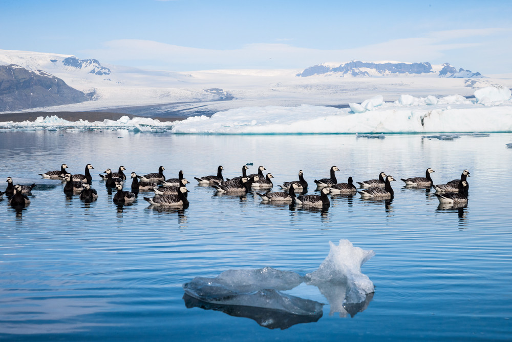 Flock of black and white geese on the water at Jokulsarlon Glacier Lagoon Iceland. Snowy mountains and ice in background.