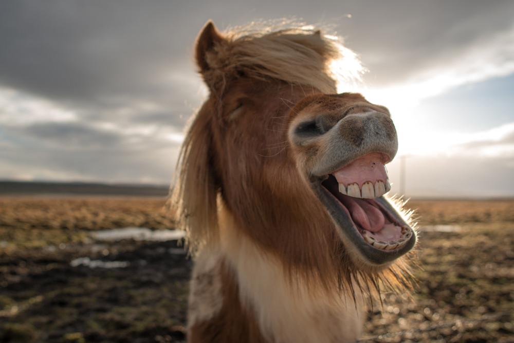 Icelandic horse with a funny face. These are some of the few animals in Iceland.