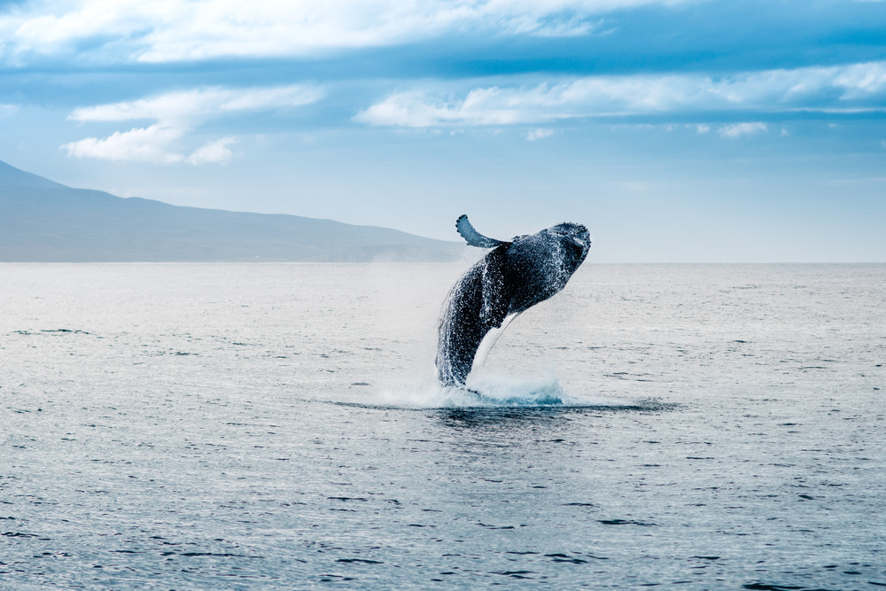 A whale leaps out of the ocean. Calm sea with land in distance. Whales are a common sight wildlife in Iceland.