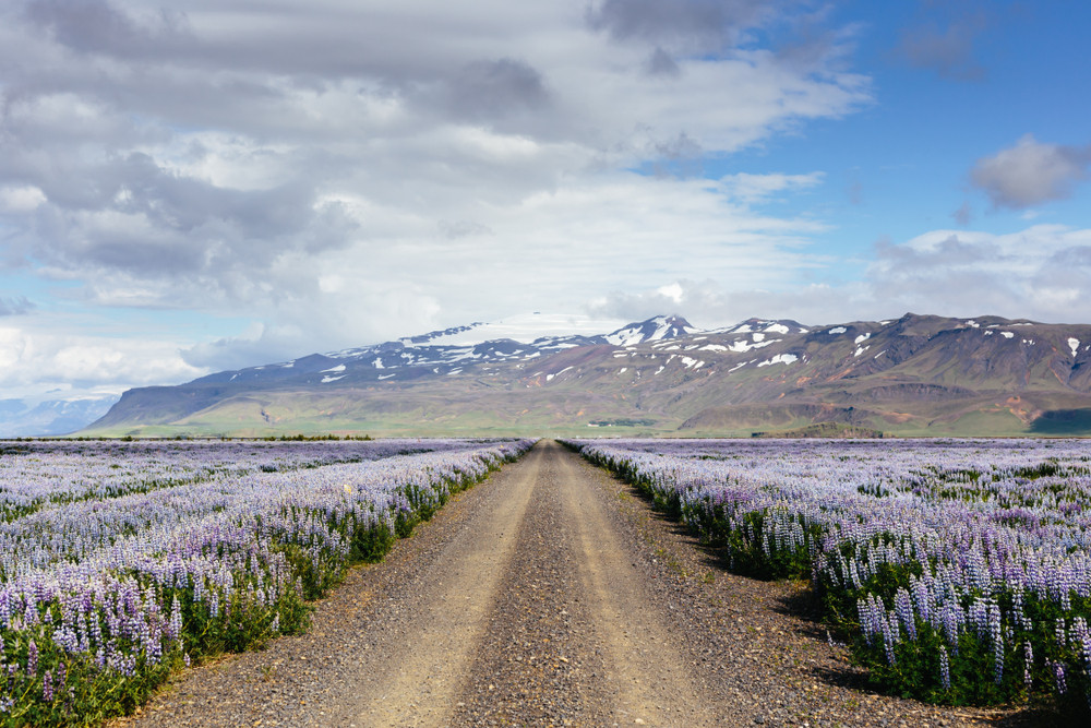 A flat gravel road leads though a field of purple flowers with snowy mountains in the distance. Iceland speed limit differs depending on road surfaces.
