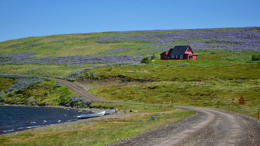 Gravel road loops around a beach and up a grass covered hill covered in purple flowers and a small red house. Car insurance in Iceland.