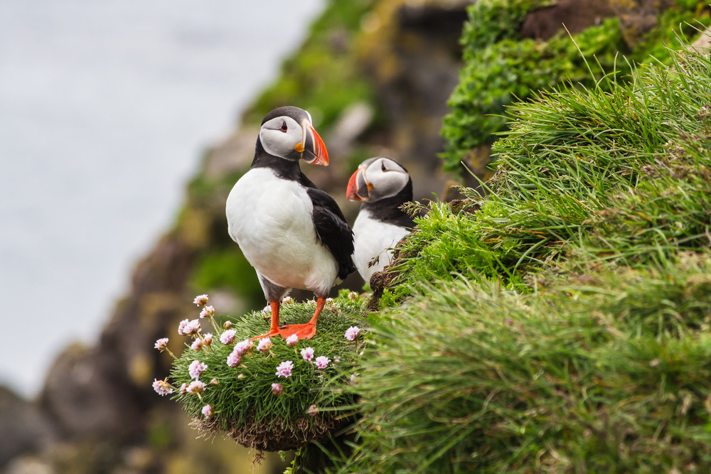 Two puffins perch on a tuft of foliage on a cliff. Wildlife and animals in Iceland.