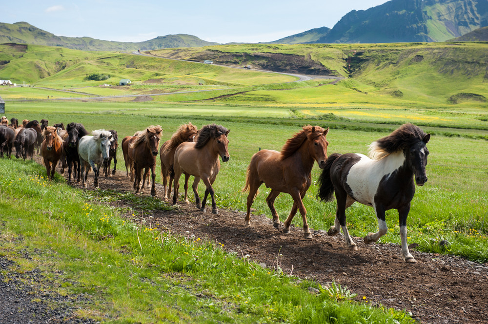Brown, black and white Icelandic ponies trot through a green landscape. Iceland in June.