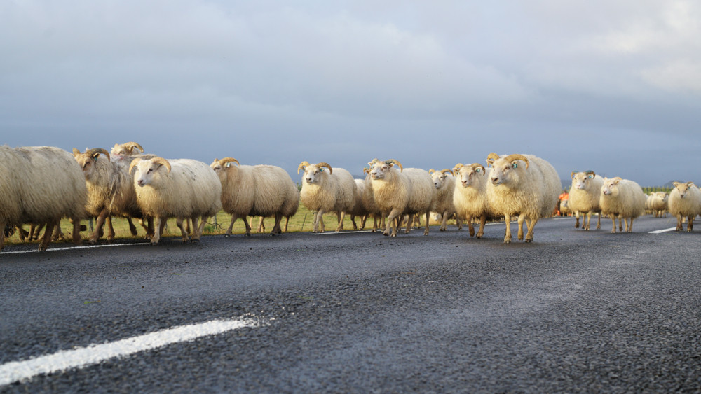 Driving safely in Iceland means watching out for sheep! Flock of sheep wandering on the road.